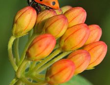 HCT-Ladybug-on-Butterflyweed-Janet-DiMattia_opt