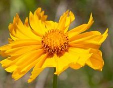 MCH-coreopsis-by-Gerry-Beetham-23June2020_opt