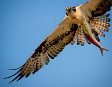 Osprey-with-One-Big-Fish_JDiMattia_opt