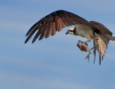 osprey-red-river-00010