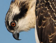 osprey-red-river-00011