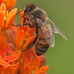 Bee on Butterflyweed Janet DiMattia_opt