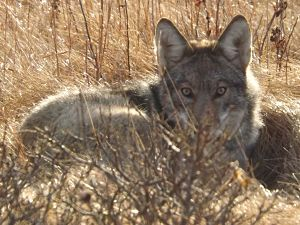 Coyote_by_Tami_Fulcher_opt
