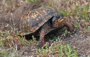 HCT-Box Turtle laying eggs-by_Janet_Dimattia_opt