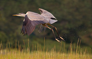 HCT-Great Blue taking off-by_Janet_Dimattia_opt