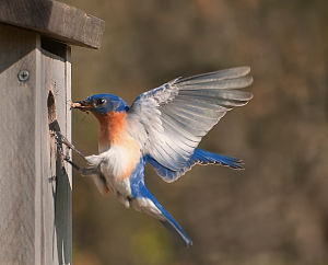Web_Bluebird_returning_to_box_by_Janet_Dimattia_jpg