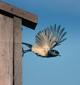 Web_Chickadee leaving Box_by_Janet_DiMattia_jpg