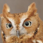 Web_screech_owl_headshot_Mark_Wilson