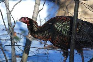 Wild Turkey_by-Dave-Crestin_opt