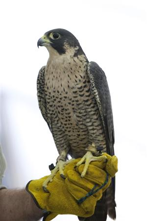 Birds Of Prey Harwich Conservation Trust