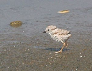 piping-plover-chick_by_Peter-Trull_opt