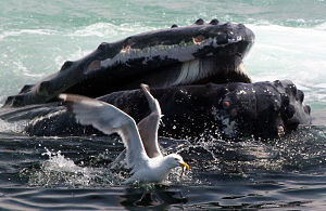 Whales & Seabirds Talk on Jan. 5th (photo by Peter Trull)