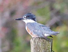 web-Bells-Neck-birding-by-Gerry-Beetham-28Sept2021-31