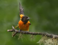 Baltimore-Oriole-on-Twig_JDiMattia_opt