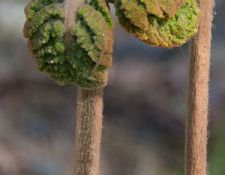 HCT-Fiddlehead-Ferns-Janet-DiMattia_opt