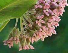 Milkweed-blossoming_JDiMattia_opt