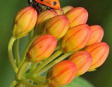 HCT-Ladybug-on-Butterflyweed-Janet-DiMattia_opt
