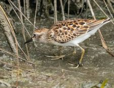 web-Trull-RR-bird-walk-by-Gerry-Beetham-10Aug2021-39