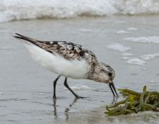 web-Trull-RR-bird-walk-by-Gerry-Beetham-12Aug2021-31