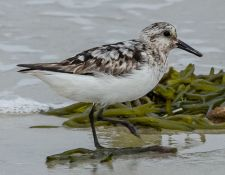web-Trull-RR-bird-walk-by-Gerry-Beetham-12Aug2021-32