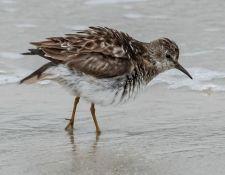 web-Trull-RR-bird-walk-by-Gerry-Beetham-12Aug2021-33