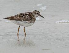 web-Trull-RR-bird-walk-by-Gerry-Beetham-12Aug2021-34