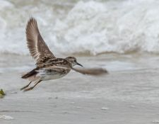 web-Trull-RR-bird-walk-by-Gerry-Beetham-12Aug2021-37