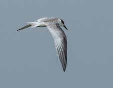 web-Trull-RR-bird-walk-by-Gerry-Beetham-12Aug2021-41