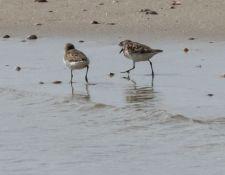 web-Trull-RR-bird-walk-by-Gerry-Beetham-17Aug2021-35