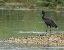 web-Trull-RR-bird-walk-by-Gerry-Beetham-19Aug2021-18