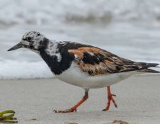 web-Trull-RR-bird-walk-by-Gerry-Beetham-19Aug2021-27