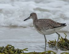 web-Trull-RR-bird-walk-by-Gerry-Beetham-19Aug2021-30
