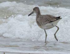 web-Trull-RR-bird-walk-by-Gerry-Beetham-19Aug2021-33