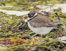 web-Trull-RR-bird-walk-by-Gerry-Beetham-19Aug2021-35