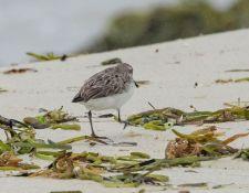 web-Trull-RR-bird-walk-by-Gerry-Beetham-19Aug2021-36