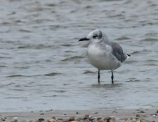 web-Trull-RR-bird-walk-by-Gerry-Beetham-24Aug2021-22