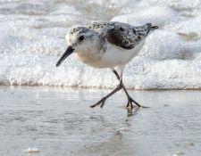 web-Trull-RR-bird-walk-by-Gerry-Beetham-31Aug2021-20