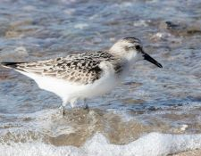 web-Trull-RR-bird-walk-by-Gerry-Beetham-3Sept2021-37