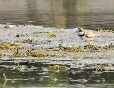 web-Trull-RR-bird-walk-by-Gerry-Beetham-7Aug202136