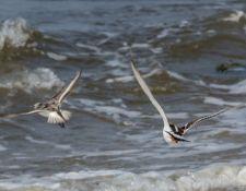 web-Trull-RR-bird-walk-by-Gerry-Beetham-7Aug202147
