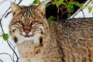 Bobcat.alert.snow.Bill.Byrne