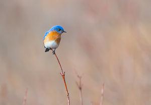 Eastern Bluebird meadow breeze, 2018 by Sarah Devli