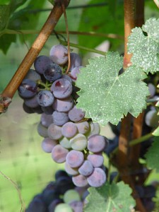 Grapes_by_Nancy-Shoemaker_opt