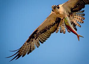 Osprey with One Big Fish