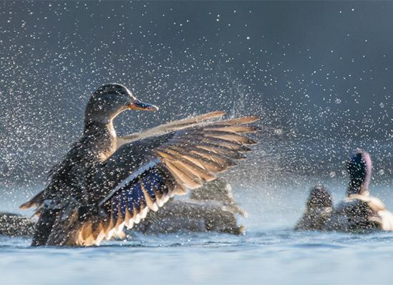 Black Ducks by Sarah E Devlin