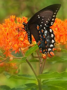 Swallowtail on Butterfly Weed