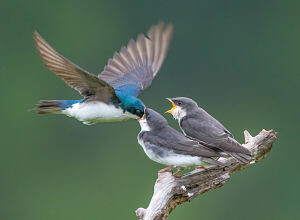 Tree swallow parent on a fly by feeding - photo by Sarah E. Devlin Photography