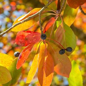 Tupelo in autumn - Native Fruits and Nuts for Wildlife