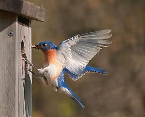 Web_Bluebird_returning_to_box_by_Janet_Dimattia_jpg