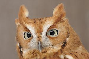 Web_screech_owl_headshot_Mark_Wilson